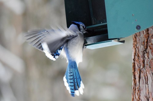 Blue Jay working the feeder