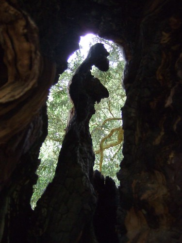 A yew-fairy/crone silhouetted in the trunk of the tree