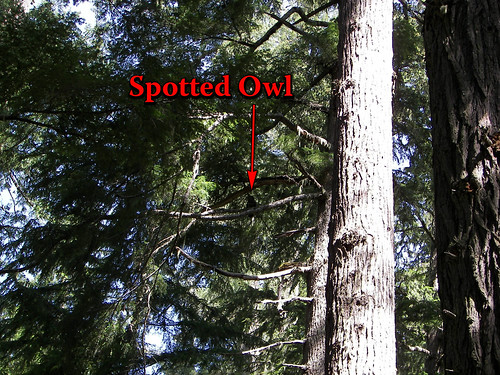 My first glimps of a Spotted Owl