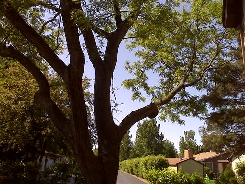 home - locust tree
