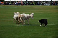 Sheep Dog in Action