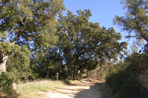 Oaks along the Way