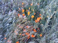 Poppies 95/365