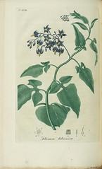 Solanum dulcamara, Bitter sweet