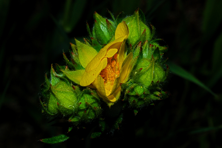 Yellow Evening-Primrose