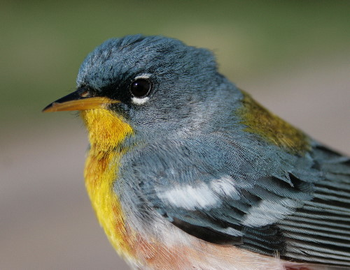 Northern Parula - male