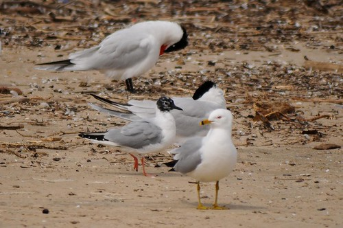 Gulls and Terns
