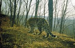 Filipovskii, male Amur leopard