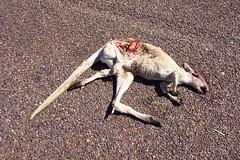 Red Kangaroo: South Australia 2008