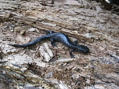 Jefferson-Blue-Spotted Salamander