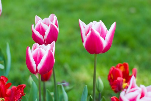 red-white tulips, istanbul tulip festival 2009, istanbul, pentax k10d