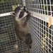 Raccoon baby's first climb in the cage