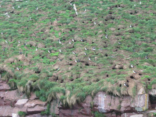 Happy puffin burrows...they mate for life