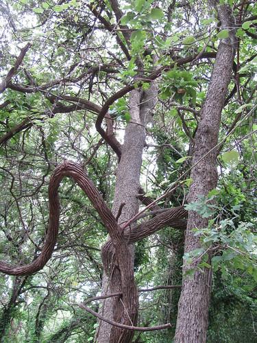 Giant Grapevine