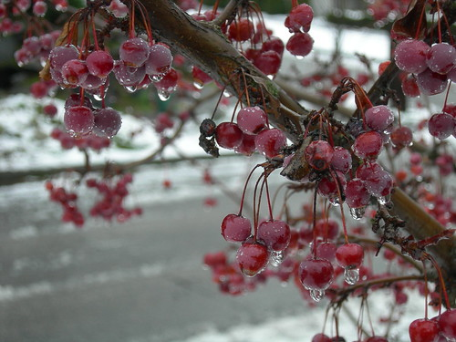 Crabapple in winter
