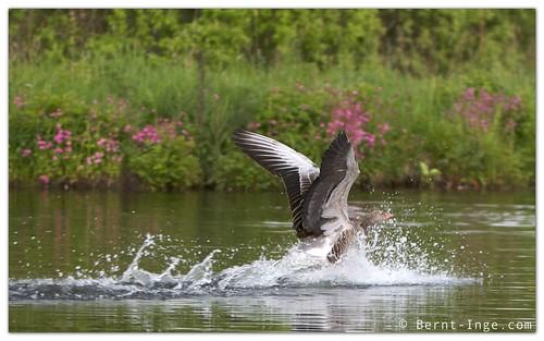 Landing Grey Goose