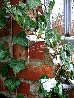 Brickwork and ivy in snow