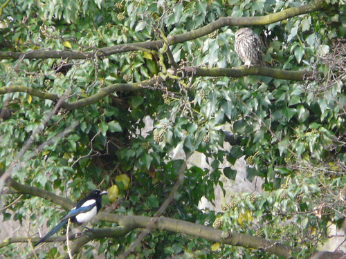 Little Owl and a mobbing Magpie!
