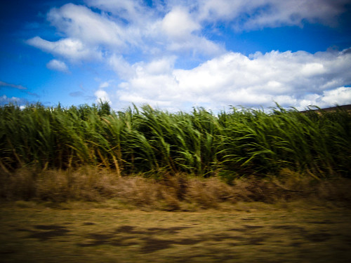 Sugar cane in Hawaii