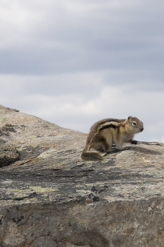Golden Mantled Squirrel at the peak of The Whistlers (Not to be confused as Chipmunks)