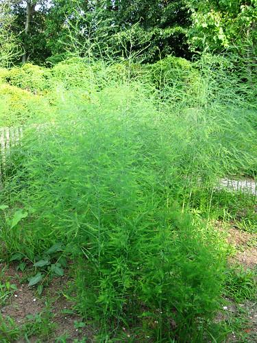 Williamsburg gardens asparagus