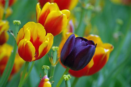 black tulip, istanbul tulip festival, istanbul lale festivali, istanbul, pentax k10d