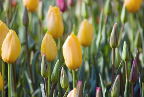 yellow tulips, Istanbul tulip festival 2009, Istanbul lale festivalinden sarı laleler, Pentax K10d