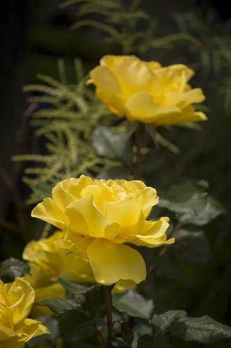 Rose 'Yellow Jacket'
