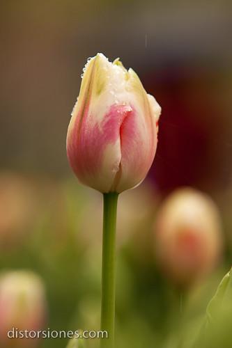 Tulipán Mónica