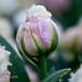 Tulipán Visitar Holanda