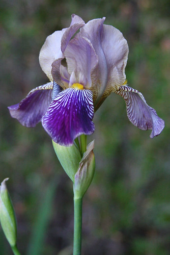 Another Bearded Iris