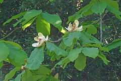 新治市民の森のホウノキ(Flower, Niiharu Community Woods, Yokohama, Kanagawa, Japan, 2011)