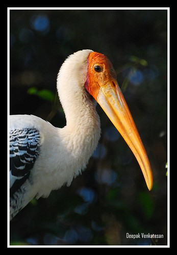 The painted stork