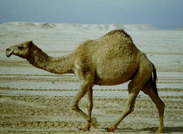 First up, camels!  Think that huge hump contains water?  Think again.  Each camels hump can contain up to 80 pounds of fat.
