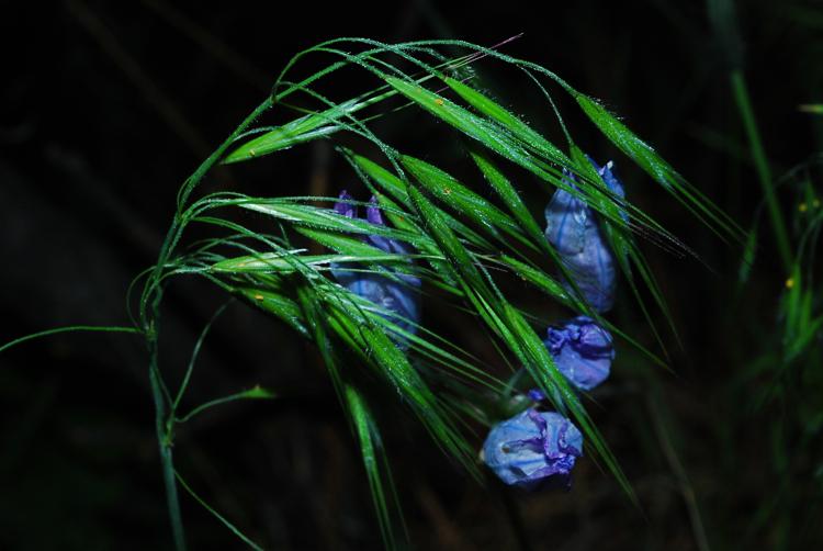Wild Hyacinth/grass