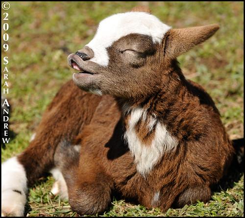 Flehmening Lamb
