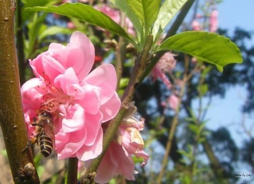 還是不放過的小蜜蜂。