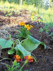 grow little squashes
