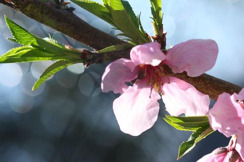 Rio Peach Blossoms 2