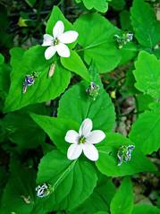 Canada violets