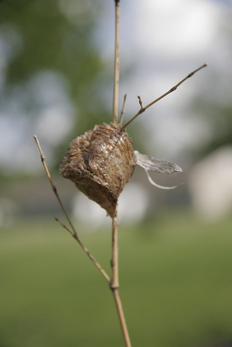 praying mantis pod