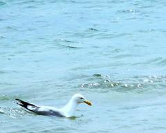 Seagull on Lake Huron