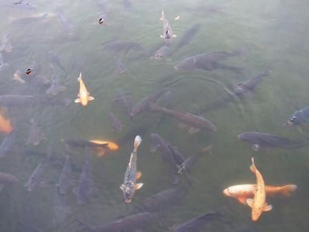 上杉神社~お堀の鯉