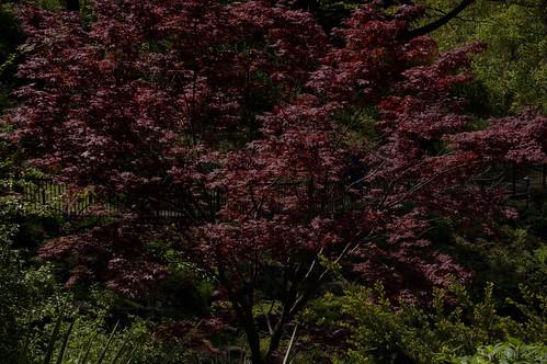 high_park_sakura_tree_7