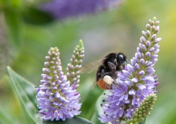Bees - Not so Close up close ups....