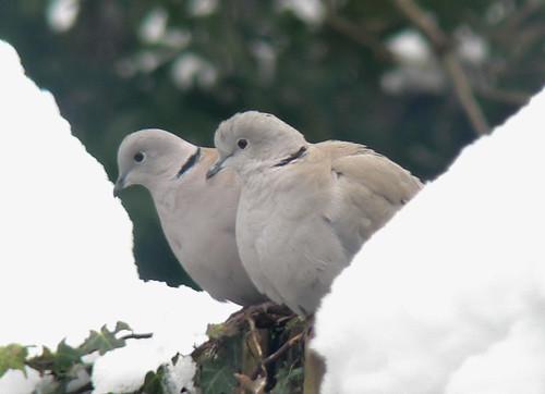 Doves in the snow