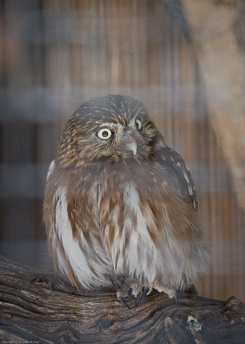 Pygmy Owl by you.