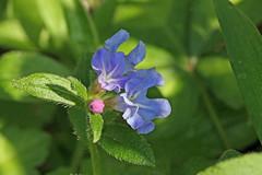 新治市民の森のホタルカズラ(Flower, Niiharu Community Woods, Yokohama, Kanagawa, Japan, 2011)