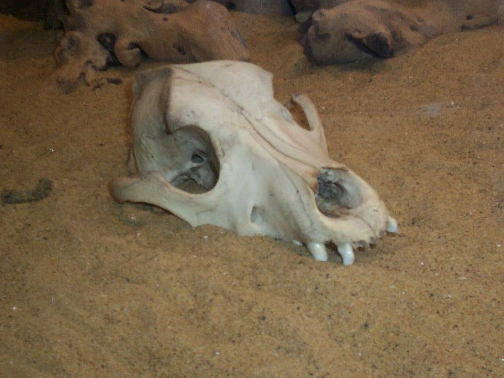 Skull - Albie