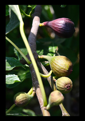Happy August from my garden!!! FIG-ment of your imagination by you.
